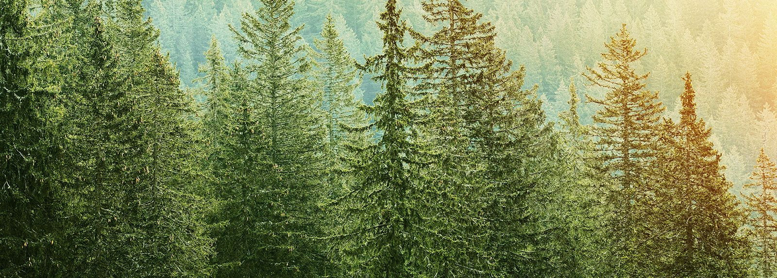 Green Coniferous Forest